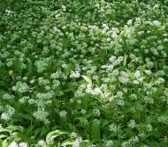 Allium ursinum8 ies